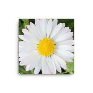 "Open image in slideshow, ""Completing the almost perfect circle"" White and Yellow Daisy Flower Canvas - Nature of Flowers"