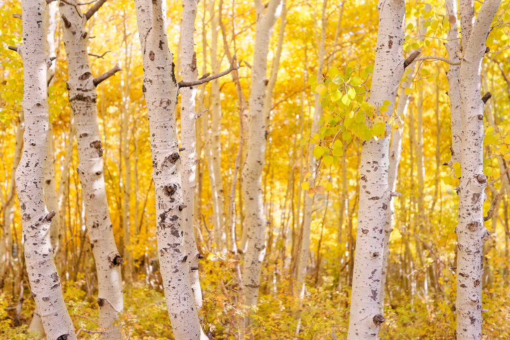 Aspen trees, High Sierra, California.