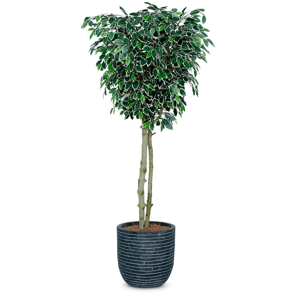 Artificial Ficus Benjamina Tree - Variegated Leaf