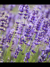 Load image into Gallery viewer, Lavender English Raw Honey