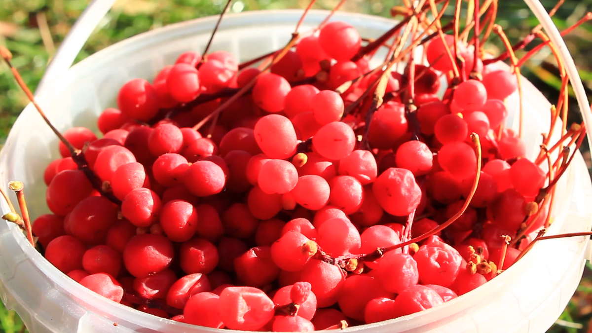 Schisandra Berry - The Fruit That Gives You Qi