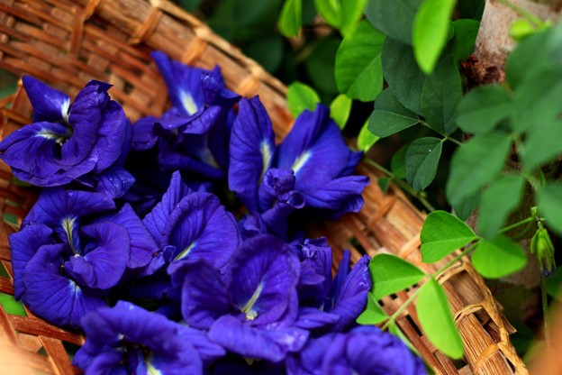 Butterfly Pea Flower - Smiling Flora