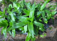 Load image into Gallery viewer, Family Doctor Plant -- Callisia fragrans