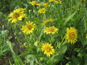 Meadow Arnica -- Arnica chamissonis