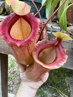 Nepenthes ventricosa 'Red'