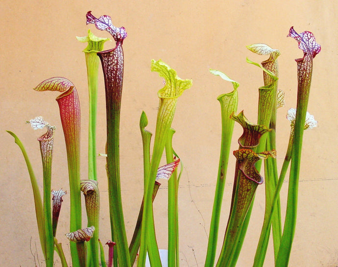 American Pitcher Plant, Open Pollinated Hybrids - Sarracenia x spp.