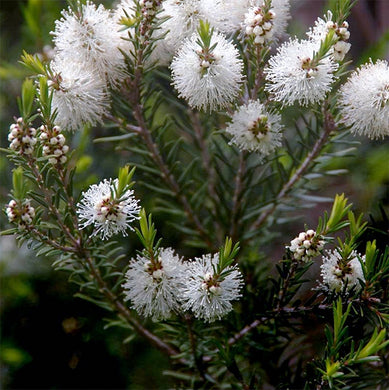 Australian Tea Tree -- Melaleuca alternifolia