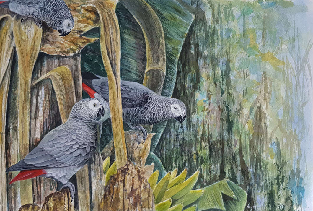 African grey parrots original painting Ian Griffiths World Parrot Trust