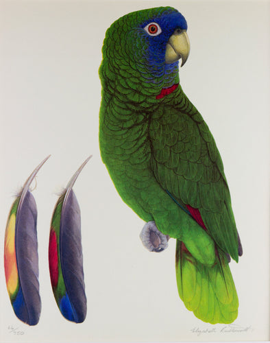 Red Necked Amazon Limited edition print Elizabeth Butterworth World Parrot Trust