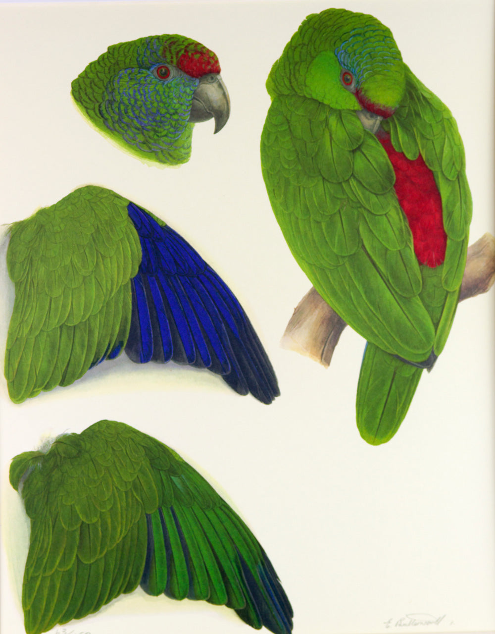 Tucuman Amazon Limited edition print Elizabeth Butterworth World Parrot Trust
