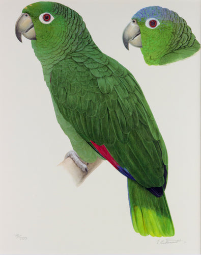 Scaly napped Amazon Limited edition print Elizabeth Butterworth World Parrot Trust
