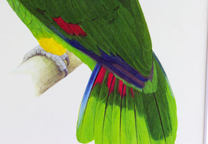 Yellow-Shouldered Amazon