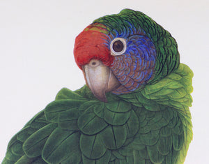 Red-Tailed Amazon Parrot