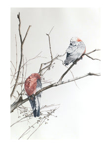 Sleeping Galah. 2