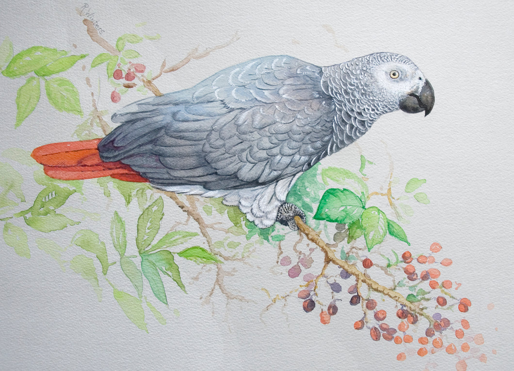 African grey parrot original painting Ria winters World Parrot Trust