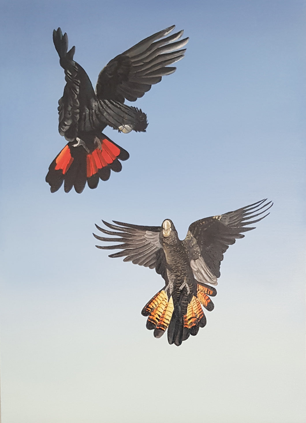 Red-tailed black Cockatoos. Dance in the sunlight