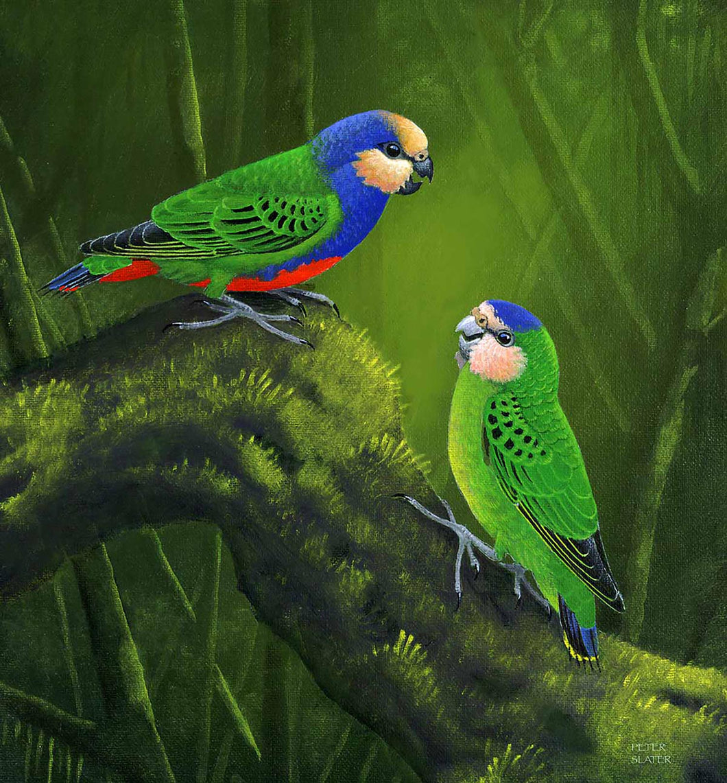 Red breasted pygmy  Parrots original painting Peter slater World Parrot Trust