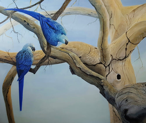 Spix's Macaw Limited edition print Ian Griffiths World Parrot Trust