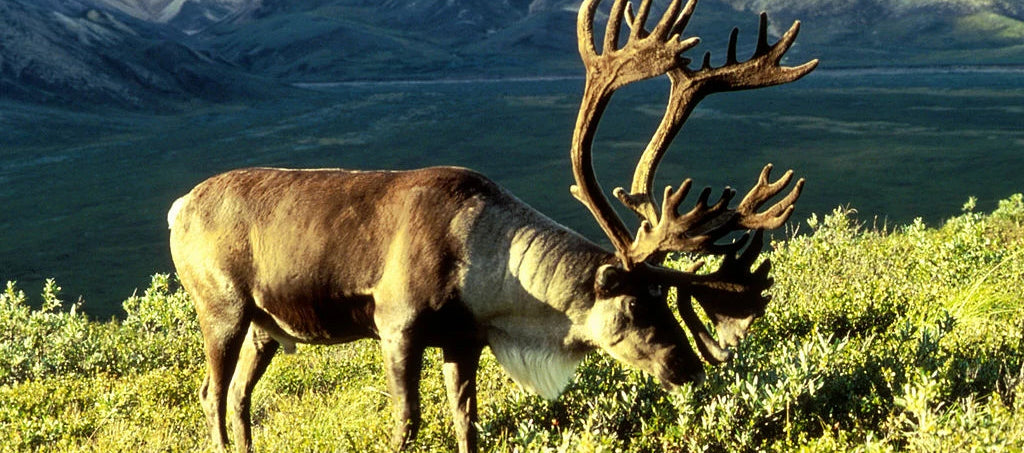 WHAT CANADIAN HUNTERS USE TO HUNT CARIBOU