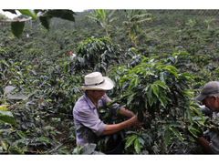 Coffee Growers - Kikos Coffee - Colombian Coffee