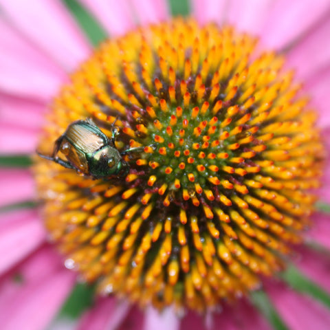 Large orange and pink echinacea photo with a bee on it