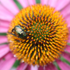 bright coloured echinacea flower for your immune health diet