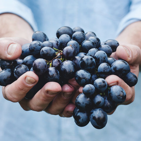 Two hands holding a big bunch of purple grapes