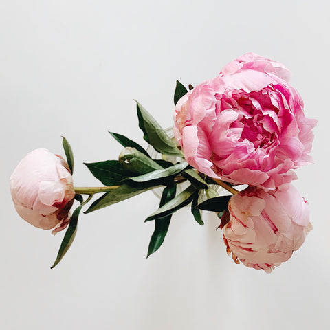 Bouquet of pink peony flowers