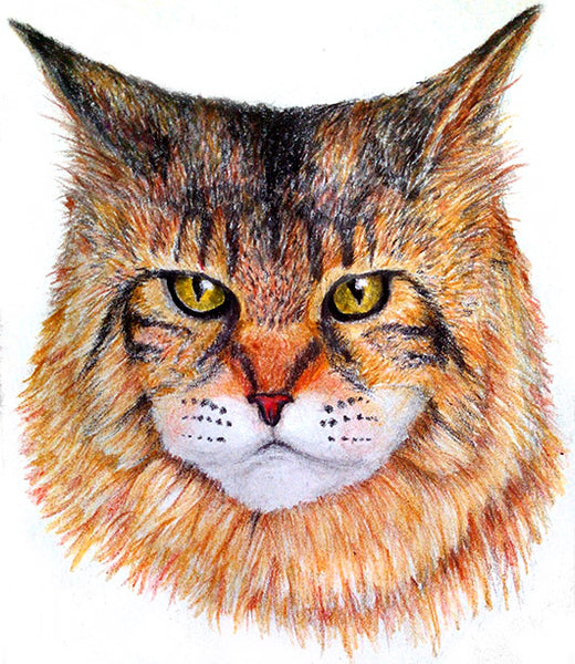 How to Draw a Maine Coon Using Color Pencils