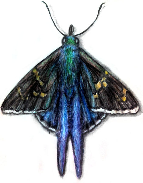 How to Draw a Long-tailed Skipper Using Color Pencils