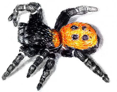 How to Draw a Ladybird Spider Using Color Pencils