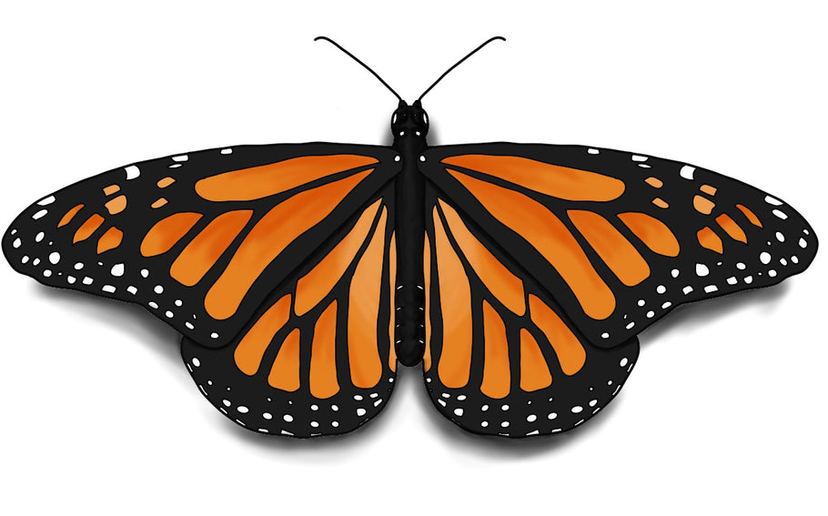 How to Draw a Monarch Butterfly Easily