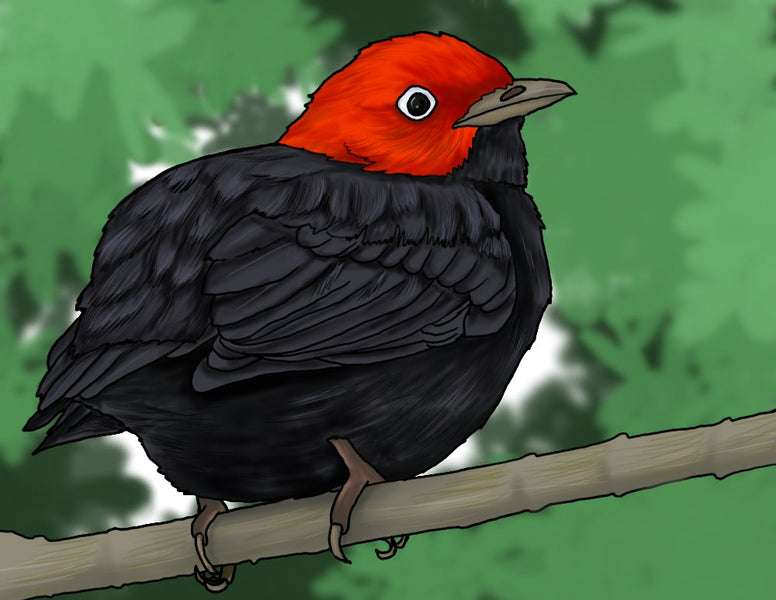 How to Draw a Red-capped Manakin