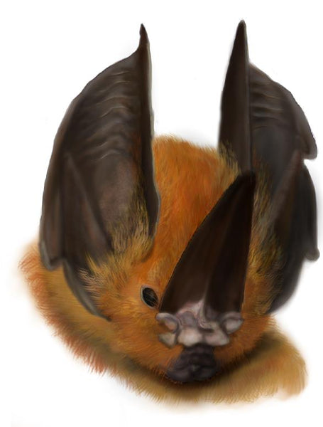 How to Draw a Sword-nosed Bat
