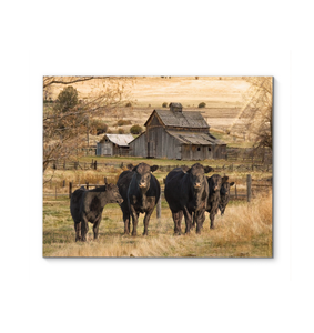Canvas - Angus Cows And Barn