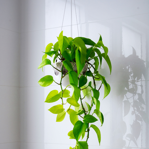 hanging indoor plants at the office