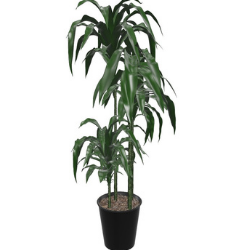 Lisa cane indoor plant