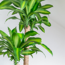 mass cane indoor office plant
