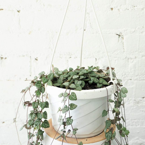 hanging indoor string of hearts office plant