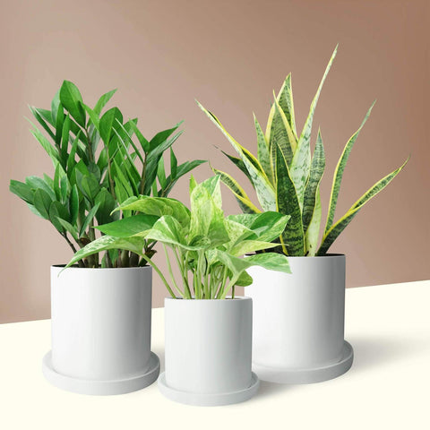 PAFE Plants easy care trio with snake plant, Pothos, and ZZ plant