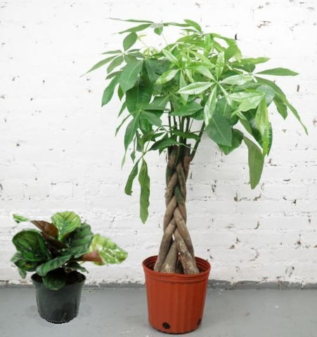 New York City money tree plants