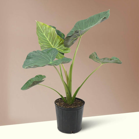 Large Alocasia 'Regal Shield'