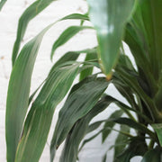 Large Lisa Cane - Pafe Plants 3