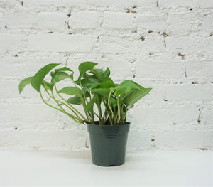 Mini Jade Pothos - Dahing Plants