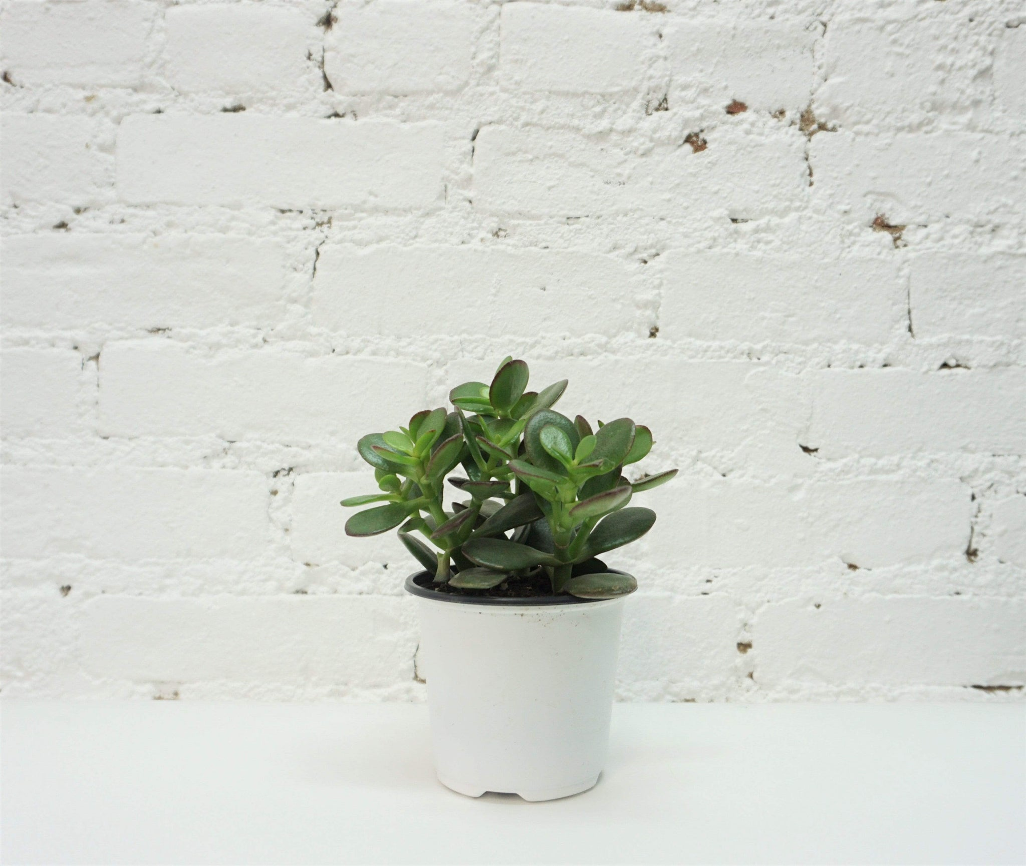 Mini Jade Plant - Dahing Plants