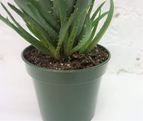 Small Aloe Hedgehog - Dahing Plants