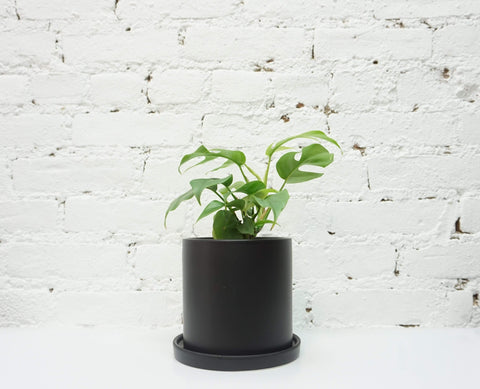 Small Mini Monstera - Dahing Plants