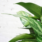 Large Chinese Evergreen 'Maria' - Dahing Plants