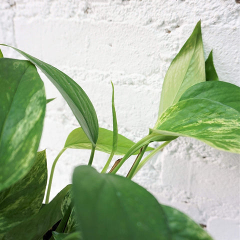 Medium Marble Queen Pothos - Dahing Plants
