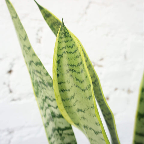 Medium Snake Plant - Dahing Plants